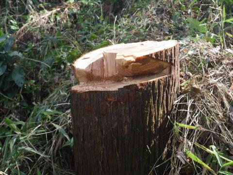 中折れスギの伐採に再チャレンジ10・26六国見山手入れ_c0014967_18052610.jpg
