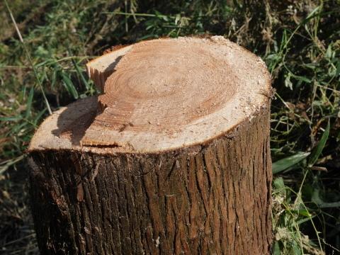 中折れスギの伐採に再チャレンジ10・26六国見山手入れ_c0014967_18060111.jpg