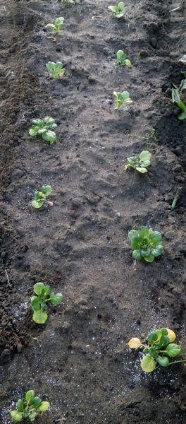 タアサイの収穫&植え付け。豌豆の発芽など_f0018078_18570081.jpg