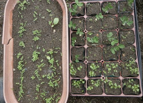 タアサイの収穫&植え付け。豌豆の発芽など_f0018078_18570725.jpg