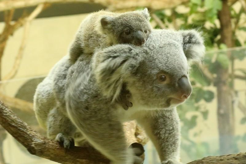 僕はコアラの赤ちゃん。名前は2月7日生まれなので「ニシチ