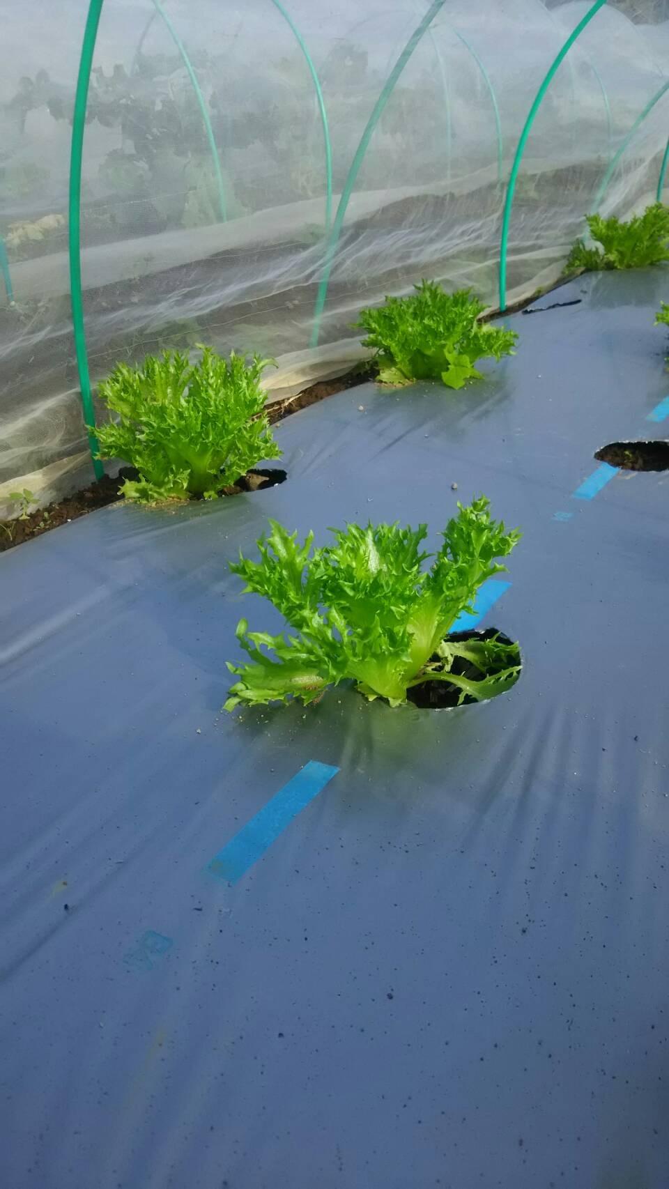 土の湿りが毎日続き ヨトウムシ 大量発生  ひたすら手で取る・・_c0222448_18142720.jpg