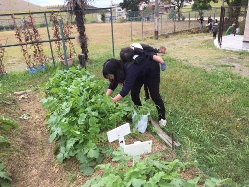 玉ねぎの苗の植え付けです_f0079749_10092383.jpg