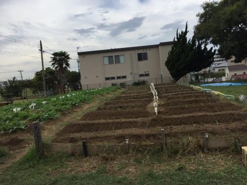 玉ねぎの苗の植え付けです_f0079749_10240089.jpg