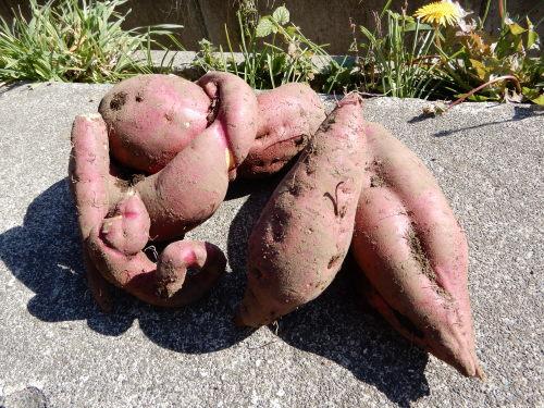 ~サツマイモ収穫~_d0195052_10090668.jpg