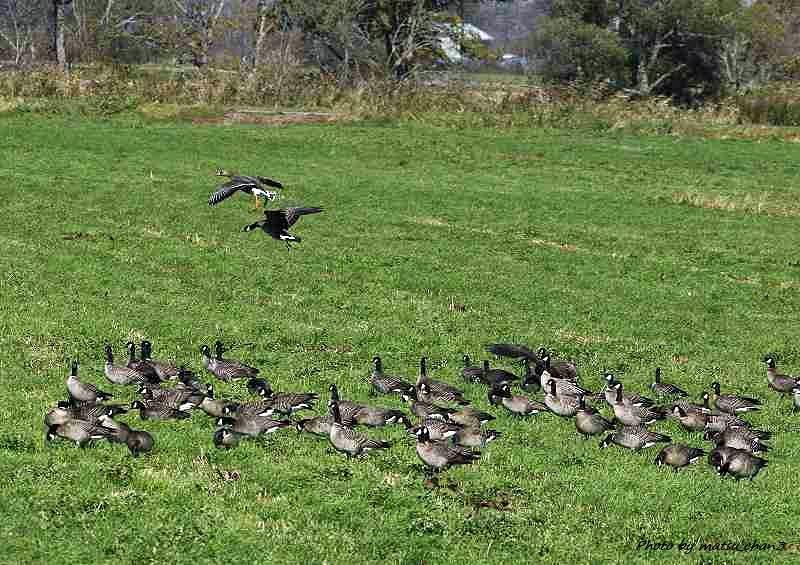 シジュウカラガン  Canada Goose_c0070654_14164911.jpg