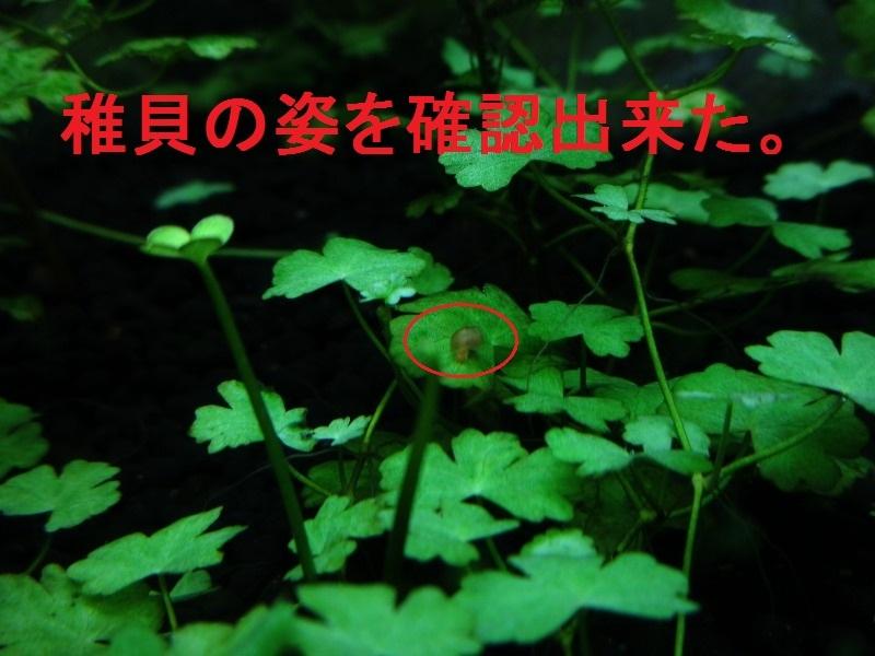 アクアリウム「稚貝」_b0362459_19440796.jpg