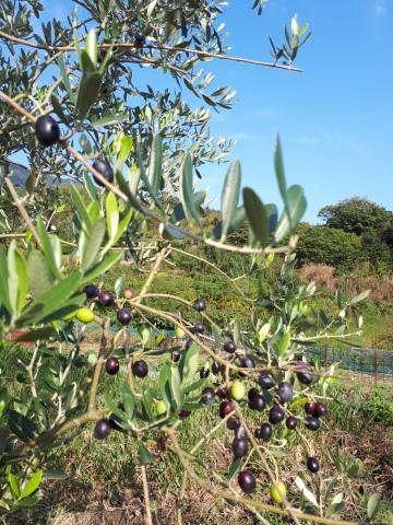 オリーブ収穫!_a0046888_07400441.jpg