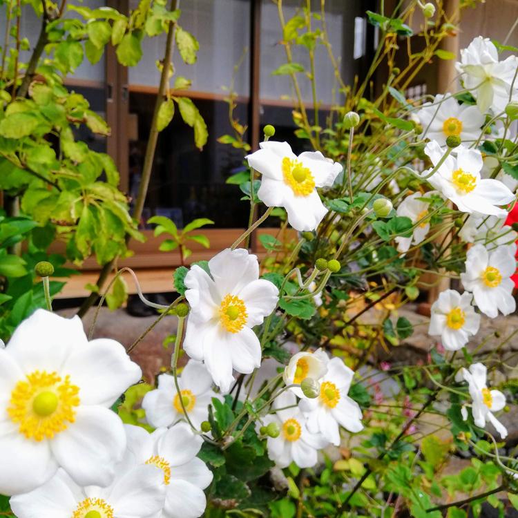 秋色の菊@菊池建設 和の厨_e0092594_16020872.jpg