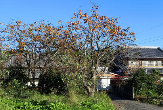 カキが映える秋晴れ_b0145296_09040153.jpg