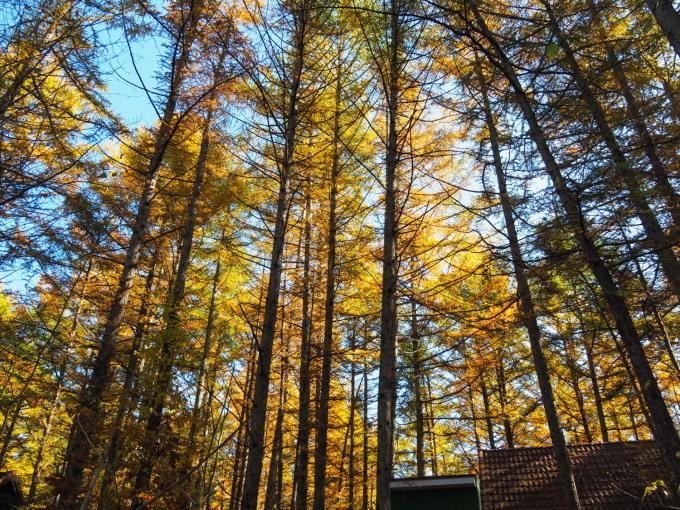 ここは森が輝く絶景スポット・・カラマツの紅葉が見頃となって来ました。_f0276498_20391787.jpg