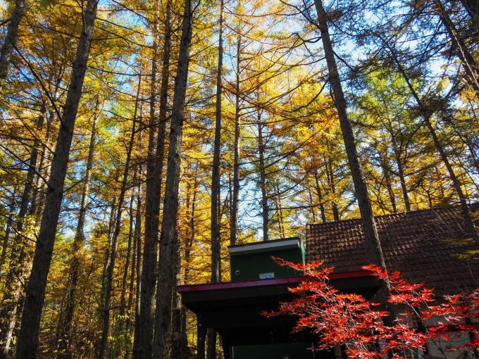 ここは森が輝く絶景スポット・・カラマツの紅葉が見頃となって来ました。_f0276498_20402354.jpg