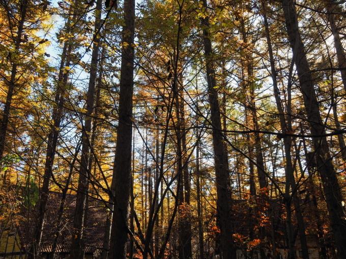ここは森が輝く絶景スポット・・カラマツの紅葉が見頃となって来ました。_f0276498_20413594.jpg