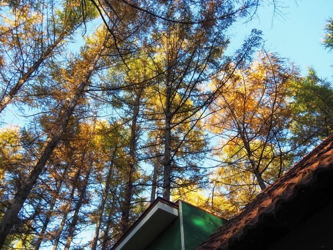 ここは森が輝く絶景スポット・・カラマツの紅葉が見頃となって来ました。_f0276498_20430808.jpg