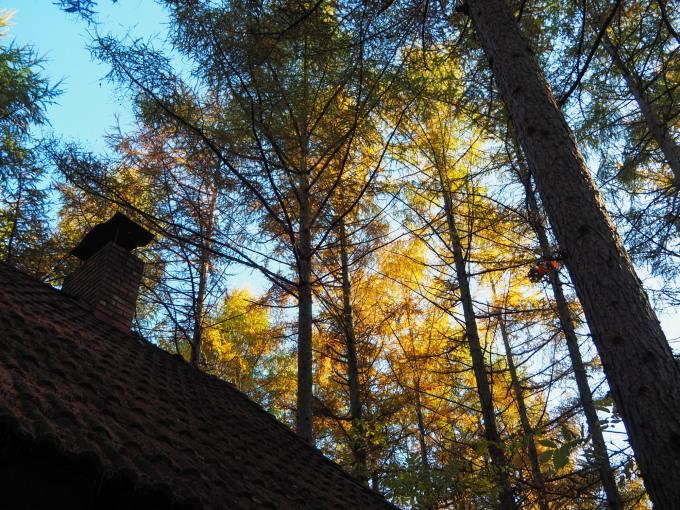 ここは森が輝く絶景スポット・・カラマツの紅葉が見頃となって来ました。_f0276498_20434401.jpg