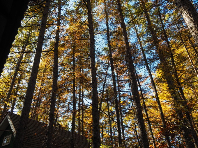 ここは森が輝く絶景スポット・・カラマツの紅葉が見頃となって来ました。_f0276498_20454802.jpg