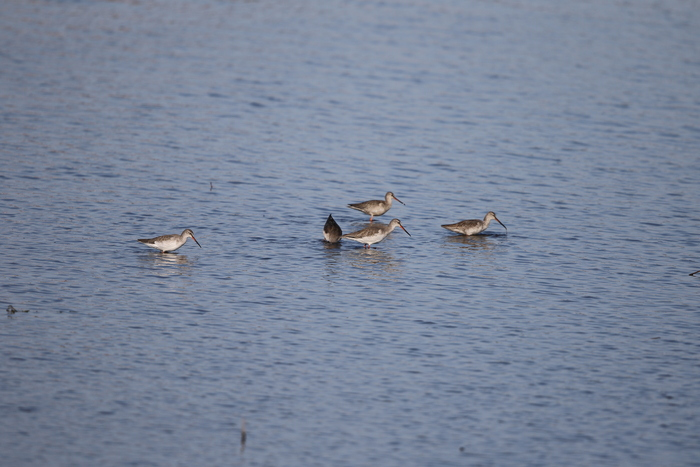 MFの沼でのツルシギの飛翔_f0239515_13484247.jpg