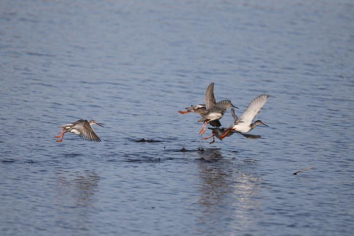 MFの沼でのツルシギの飛翔_f0239515_13491449.jpg
