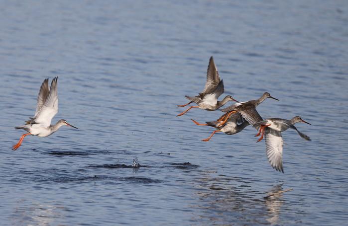 MFの沼でのツルシギの飛翔_f0239515_13494178.jpg