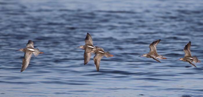 MFの沼でのツルシギの飛翔_f0239515_135010100.jpg