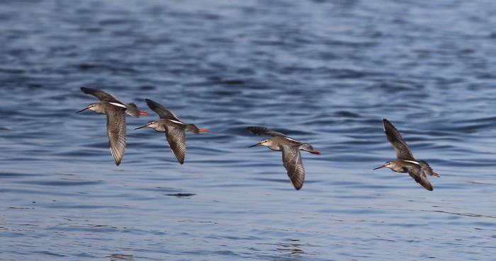 MFの沼でのツルシギの飛翔_f0239515_13503613.jpg