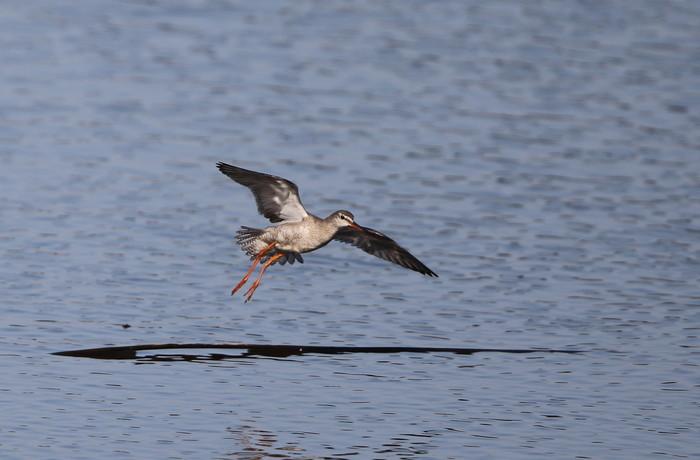 MFの沼でのツルシギの飛翔_f0239515_1351725.jpg
