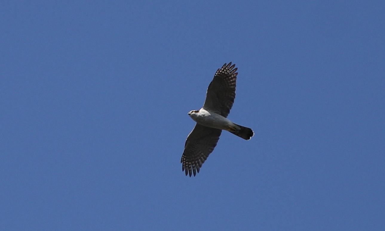 MFの沼でのツルシギの飛翔_f0239515_1356037.jpg