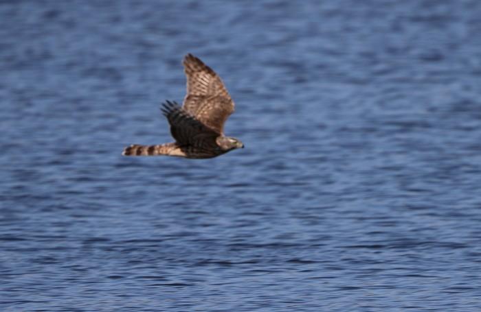 MFの沼でのツルシギの飛翔_f0239515_149070.jpg