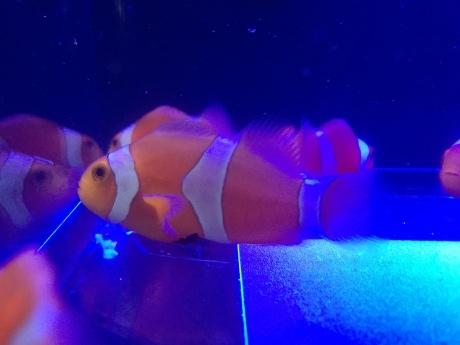 191030 海水魚 熱帯魚 金魚 めだか 水草_f0189122_15421653.jpeg