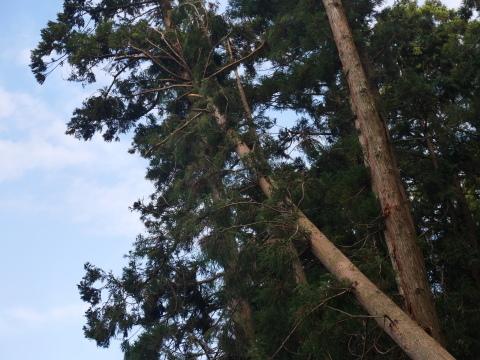 懸案の畑上のスギの架かり木など伐採:10:28六国見山手入れ⓵_c0014967_10213174.jpg