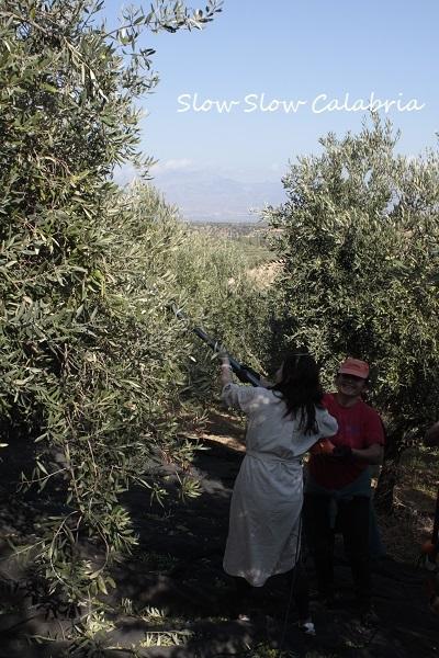オリーブ収穫体験&絞りたてオリーブオイル!!_c0171485_03505928.jpg