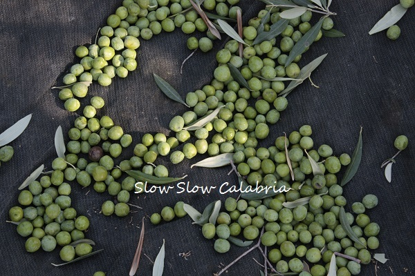 オリーブ収穫体験&絞りたてオリーブオイル!!_c0171485_03512381.jpg