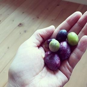 オリーブ収穫!_a0046888_00395769.jpg