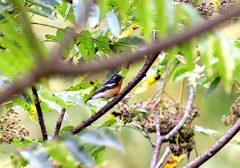 秋の渡り旅鳥:ムギマキ オス&メス_e0362696_16300014.jpg