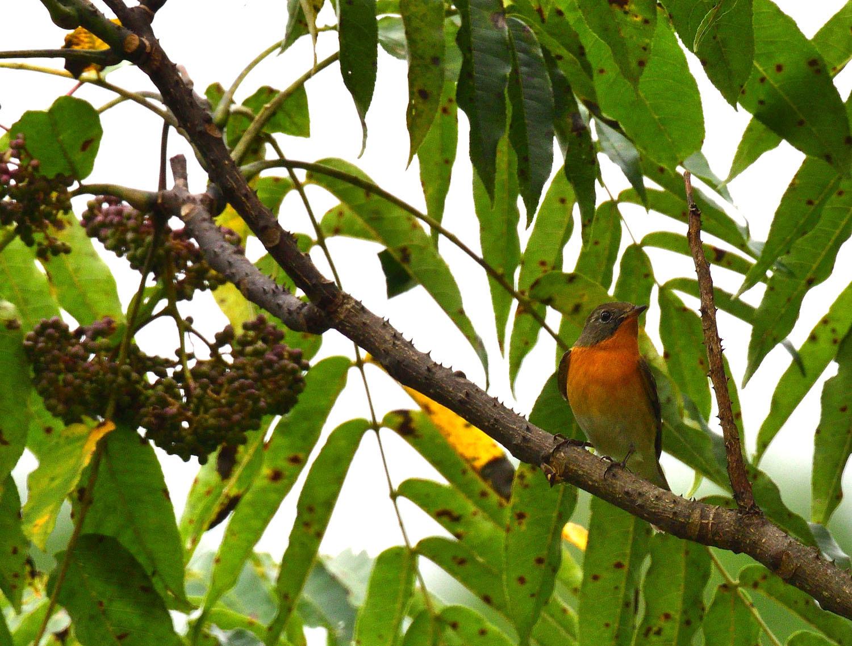 秋の渡り旅鳥:ムギマキ オス&メス_e0362696_16305300.jpg