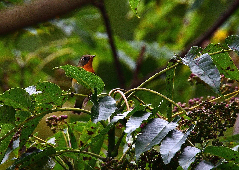 秋の渡り旅鳥:ムギマキ オス&メス_e0362696_16311638.jpg