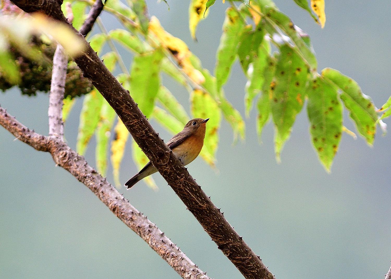 秋の渡り旅鳥:ムギマキ オス&メス_e0362696_16312967.jpg