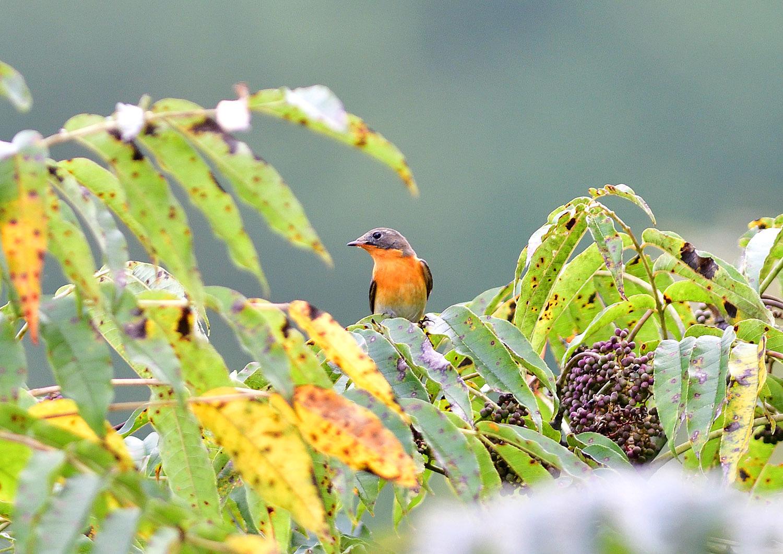 秋の渡り旅鳥:ムギマキ オス&メス_e0362696_16314596.jpg