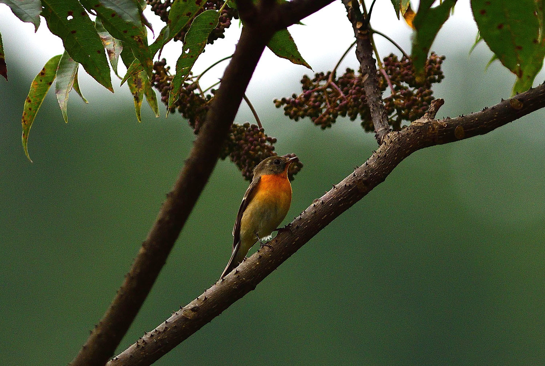秋の渡り旅鳥:ムギマキ オス&メス_e0362696_16315100.jpg