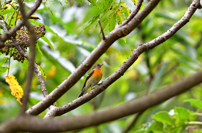 秋の渡り旅鳥:ムギマキ オス&メス_e0362696_16315805.jpg
