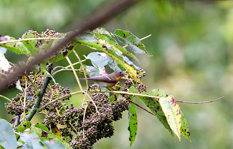 秋の渡り旅鳥:ムギマキ オス&メス_e0362696_16321414.jpg