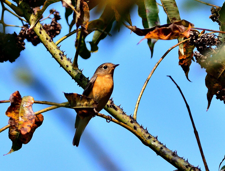 秋の渡り旅鳥:ムギマキ オス&メス_e0362696_16323051.jpg