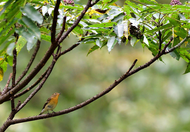 秋の渡り旅鳥:ムギマキ オス&メス_e0362696_16323569.jpg