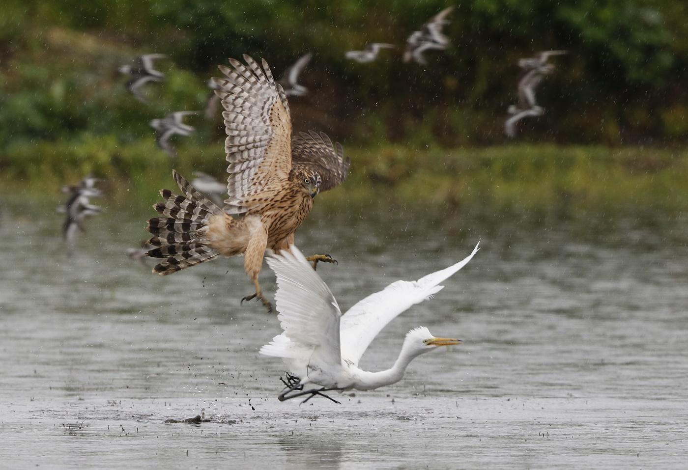 MFの沼でのツルシギの飛翔_f0239515_19342117.jpg