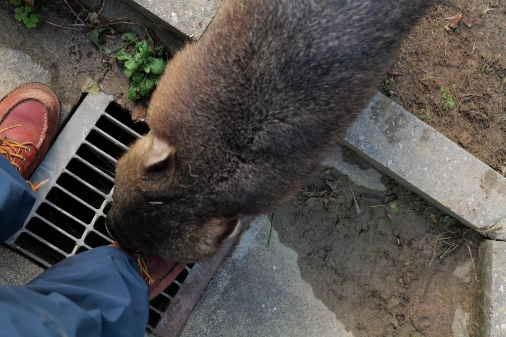 ウォンバット君 再会 池田市 五月山動物園_f0050534_21325474.jpg