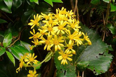 季節の花。ツワブキ_c0019338_20230819.jpg