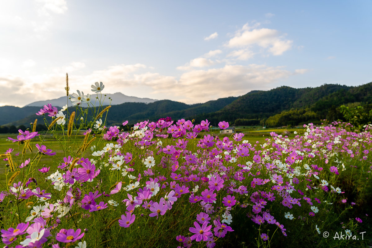 秋桜 2019_f0152550_22282182.jpg