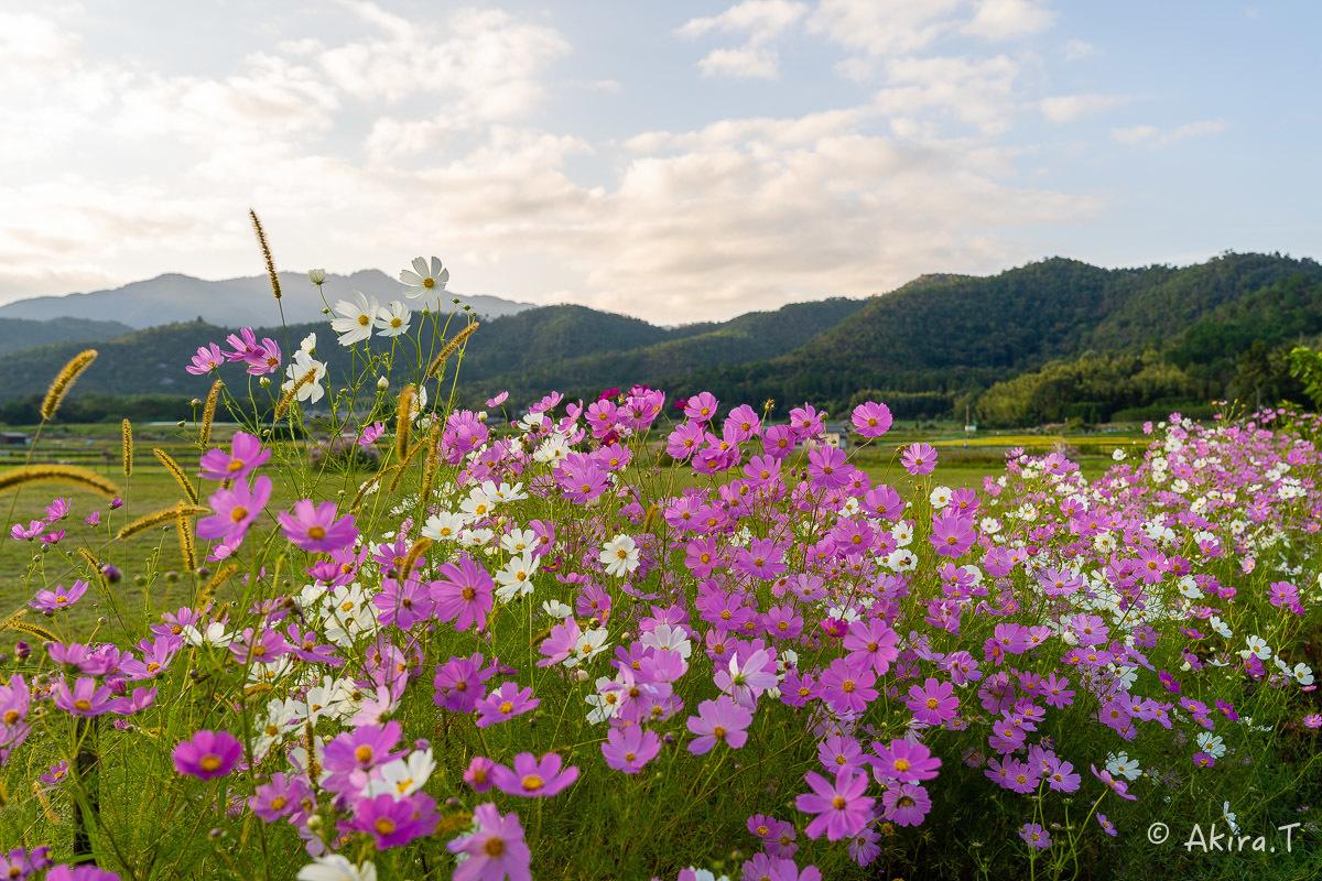 秋桜 2019_f0152550_22295802.jpg