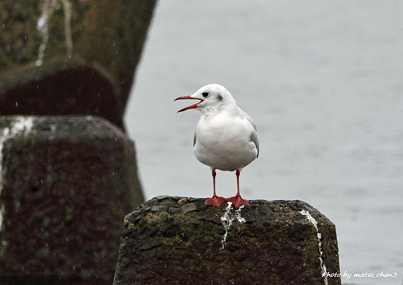 ユリカゴメ   Black-headed Gull_c0070654_18534988.jpg