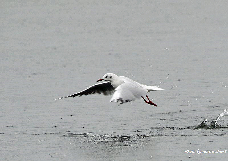 ユリカゴメ   Black-headed Gull_c0070654_18543124.jpg
